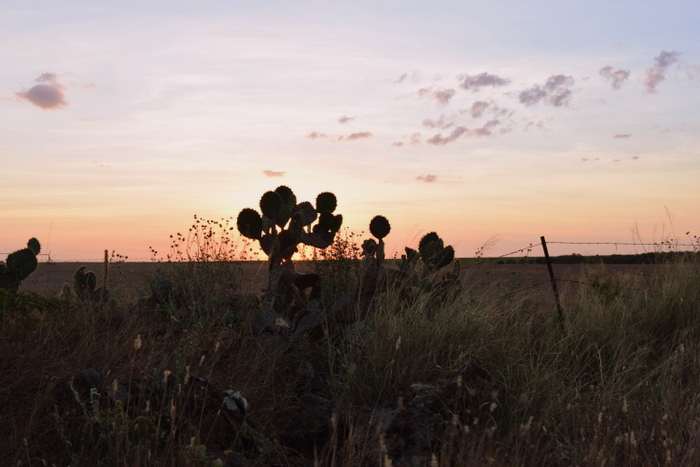 cactus in sunset